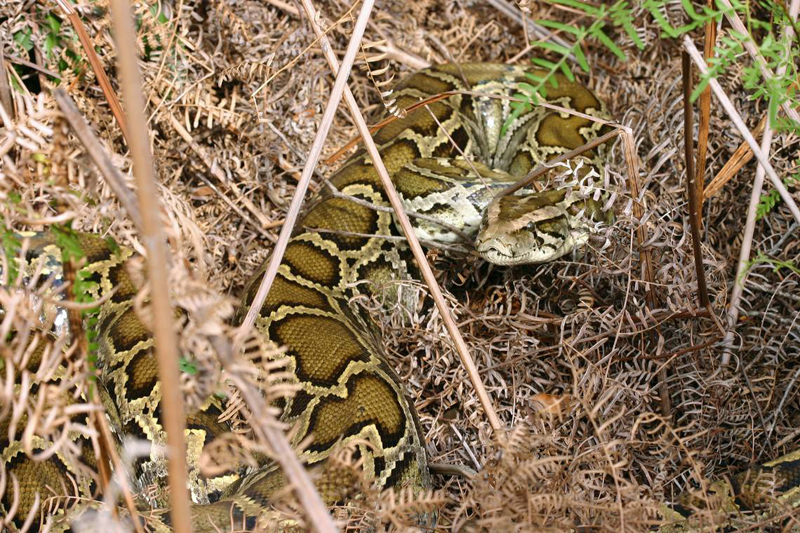 Everglades National Park Will Pay Hunters to Kill Pythons