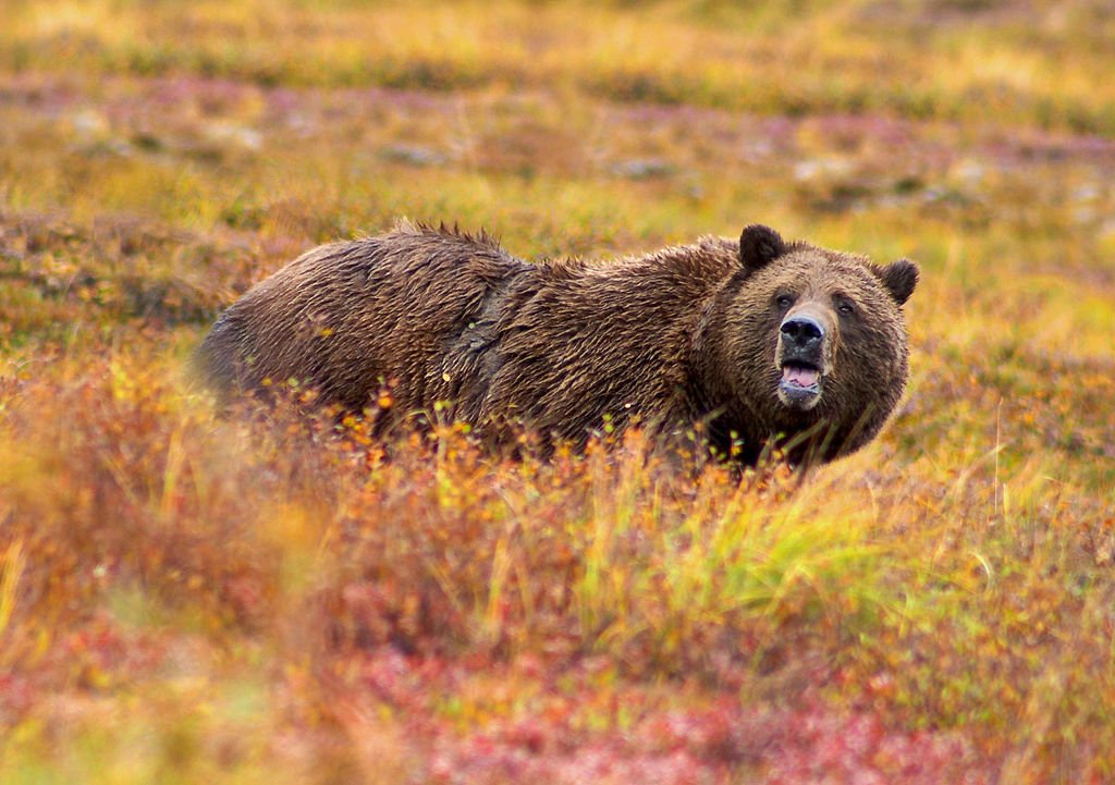 Anti-Hunters are Applying for Wyoming's 1st Grizzly Bear Hunt in 44 Years