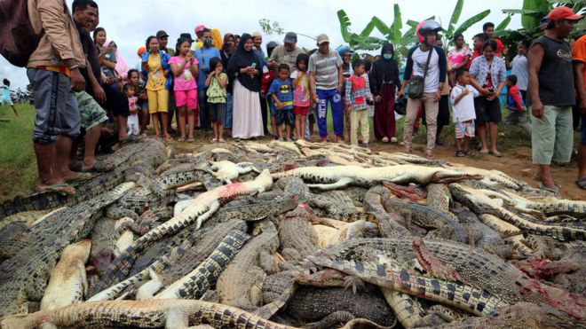 Indonesian Mob Exacts Vengeance After Deadly Crocodile Attack