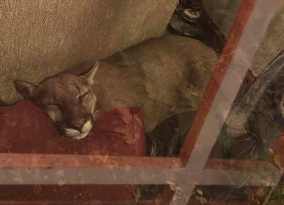 Mountain Lion Naps Behind Sofa Until Receiving 'Telepathic Pictures'