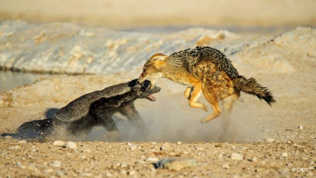 9 Impressive Photos of a Honey Badger in Action