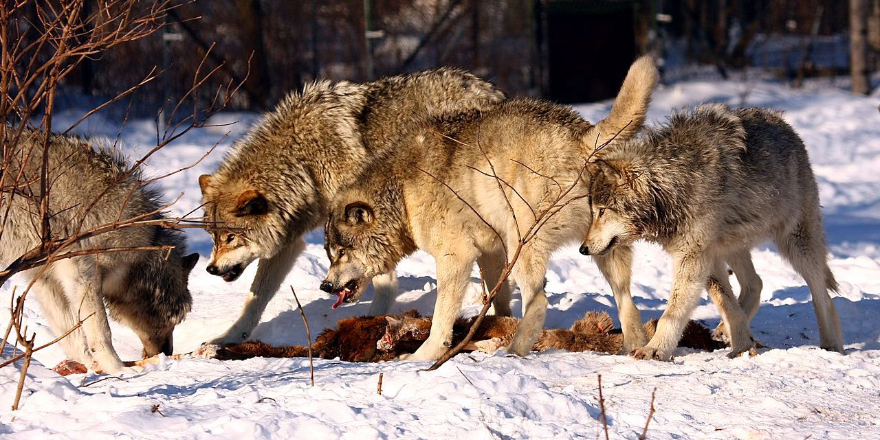 Gray Wolves Voted to have Legal Protections DROPPED