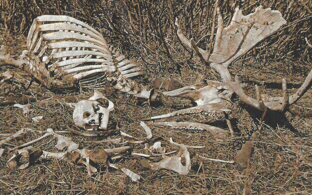 Intermingled Bones of Moose and Man