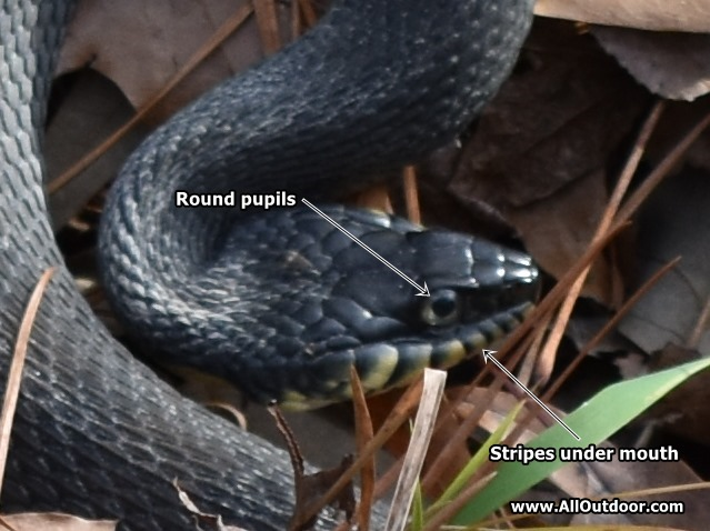 Texas banded water snake