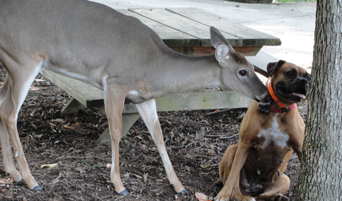 Whitetail Doe Lived 20 Years as 'Farm Guest'