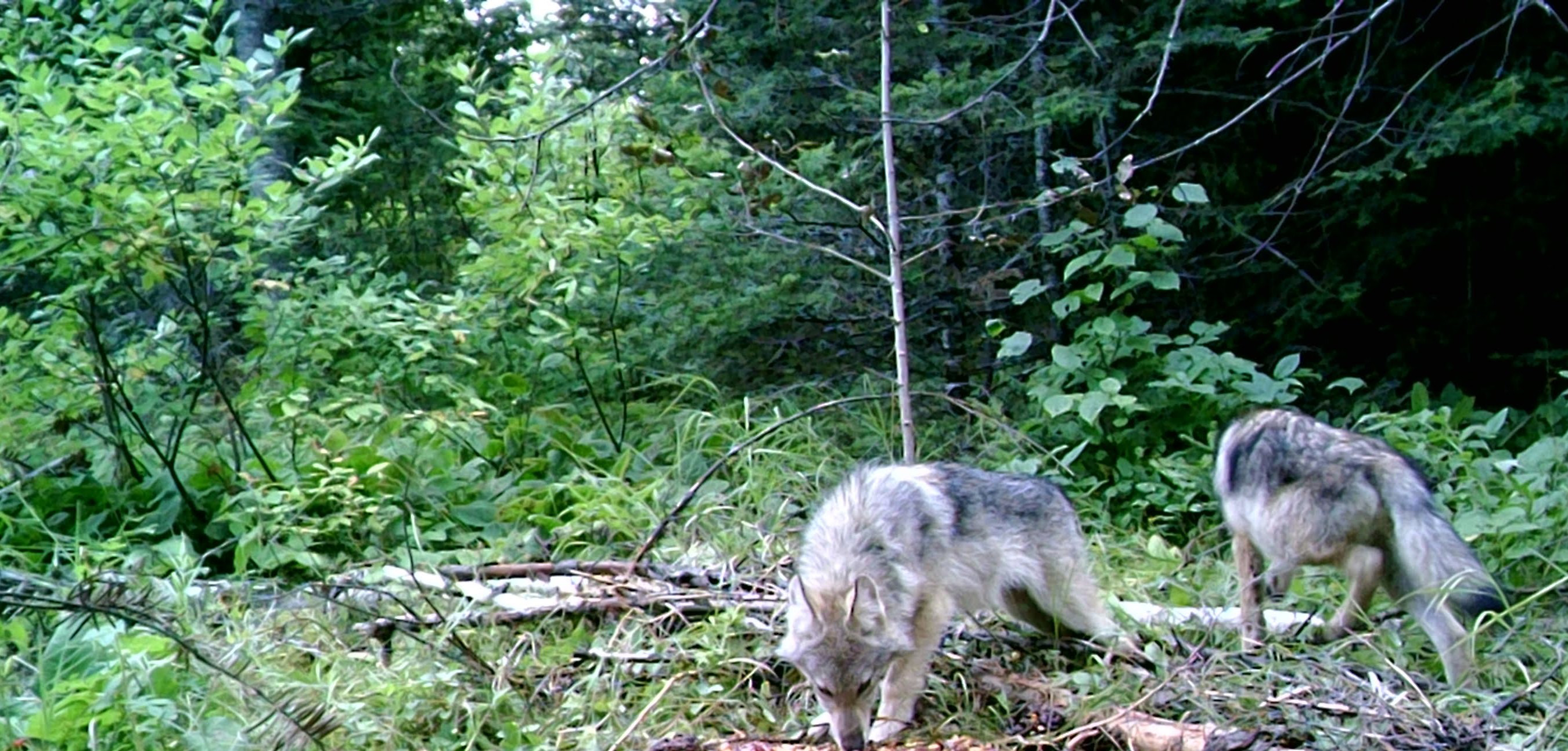 Hearing to Delist Wolves from Endangered Species Set