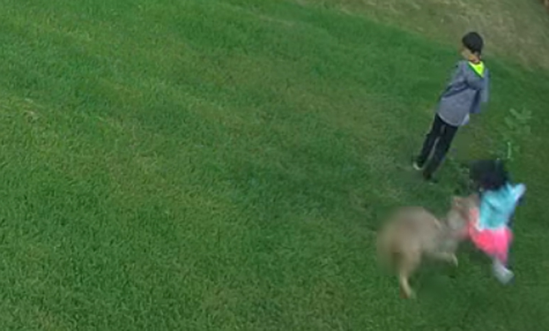 Video of Coyote Attack on Little Girl