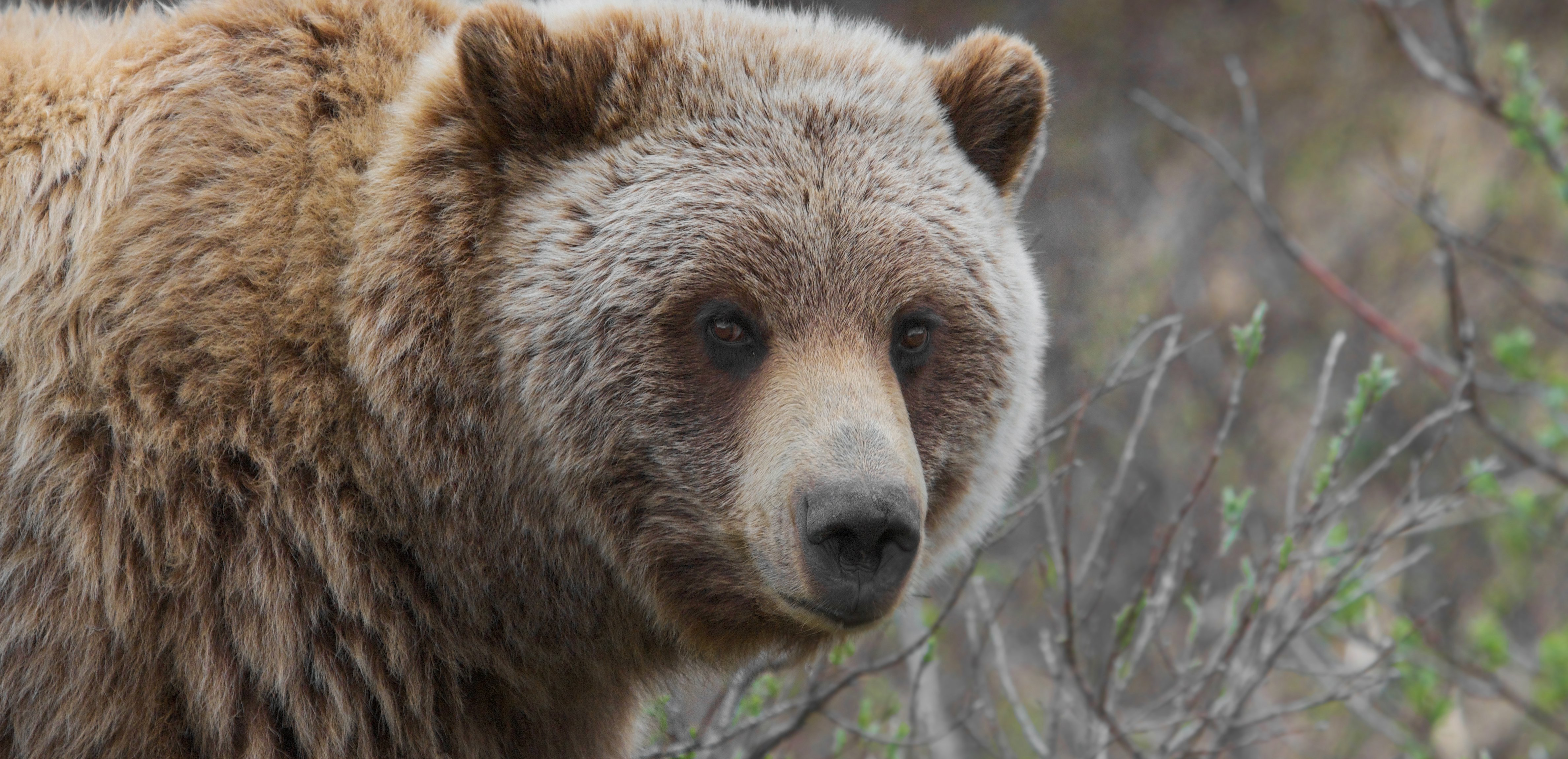 Grizzly Bears to be Placed BACK on Endangered Species List