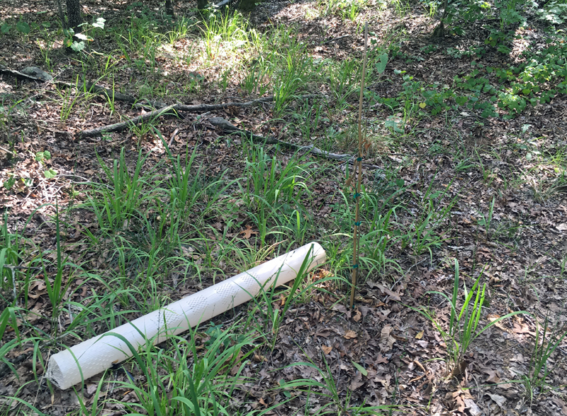 Chestnut tree number three's grow tube had been removed... but by whom or what? (Photo © Russ Chastain)