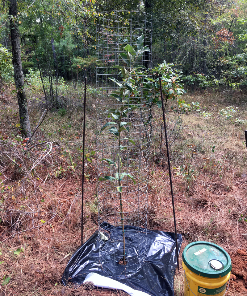 New cage and weed barrier installed on tree 5. (Photo © Russ Chastain)
