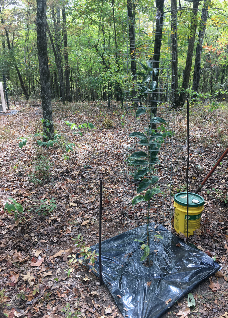 October 2019 Dunstan Chestnut Food Plot Trees