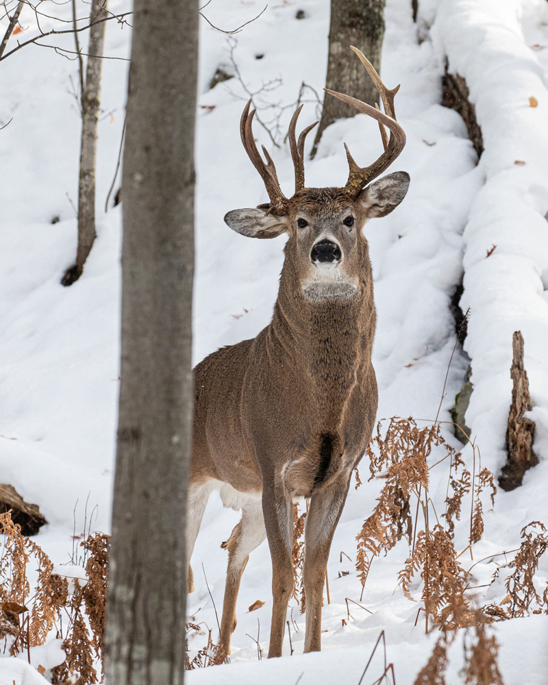 Why Do Bucks Disappear During Hunting Season?