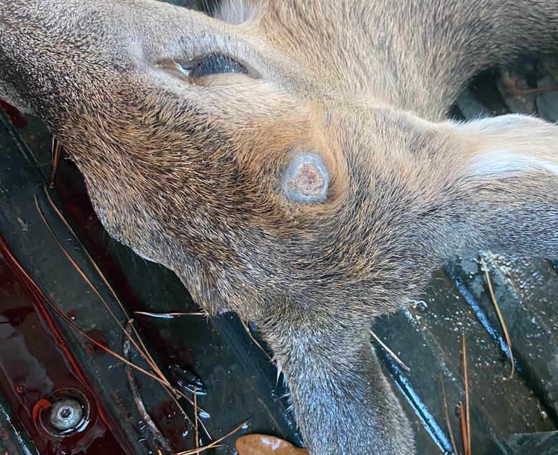 The buck's pedicels (where the antlers used to be) had already scabbed over, so he'd been shed for a while. (Photo © Russ Chastain)