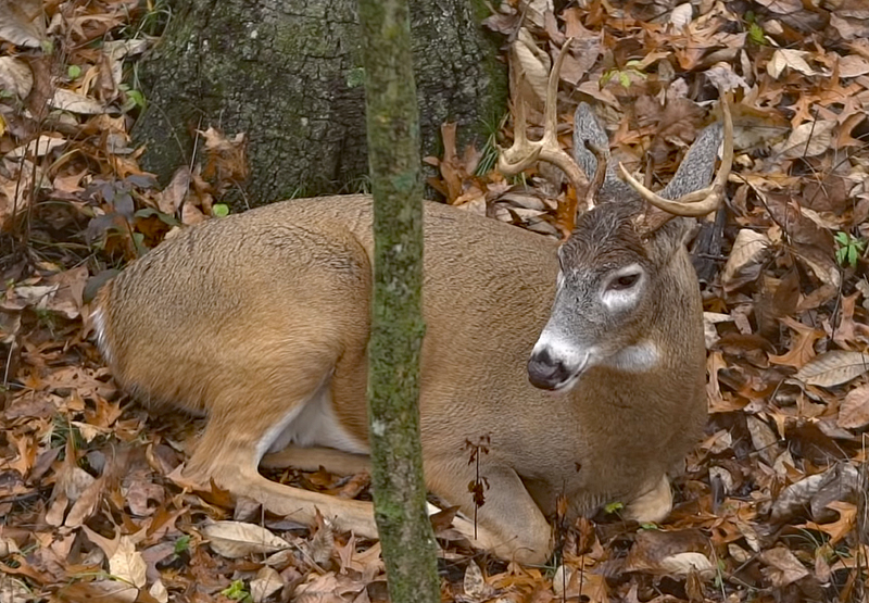 How to Find Buck Bedding Areas