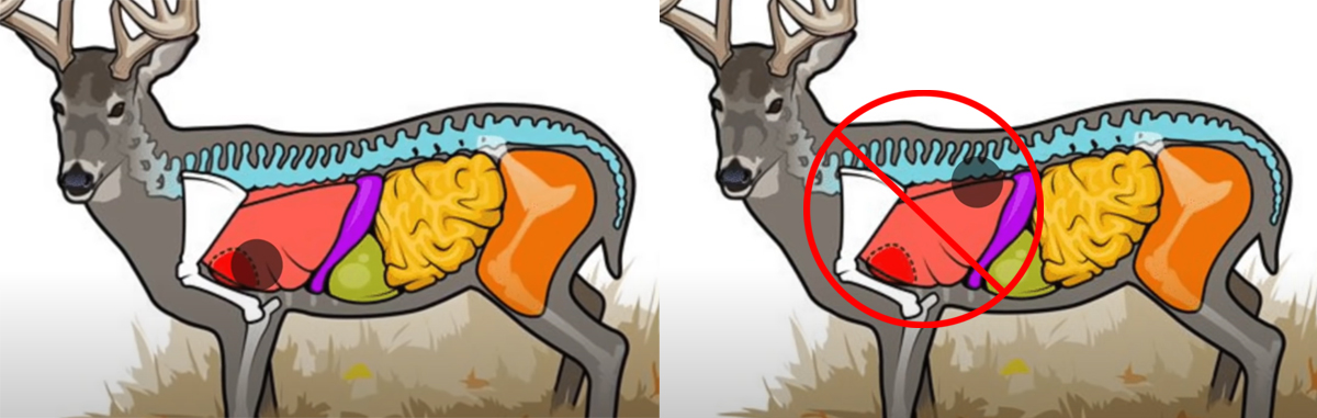 Deer Hunting Shot Placement: The Vital V