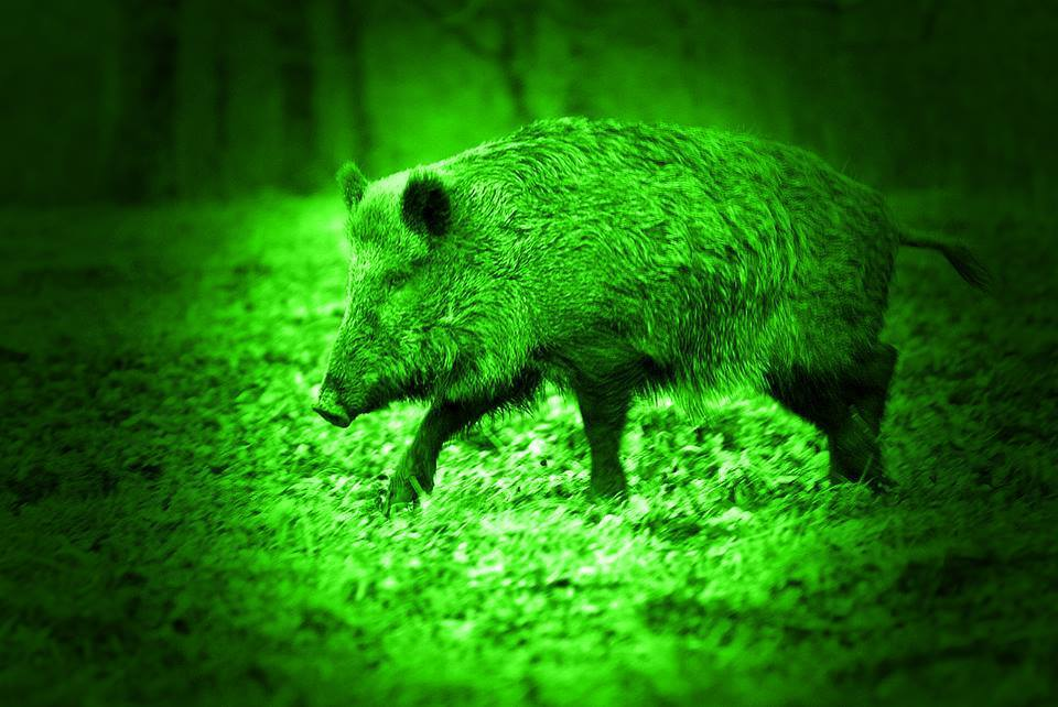 Missouri to Allow Thermal and Night Vision for Hogs and Other Invasive Species