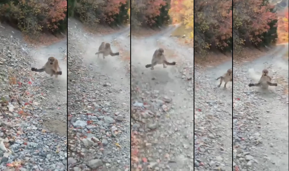 Watch as This Cougar Chases a Hiker — for 5 Minutes!
