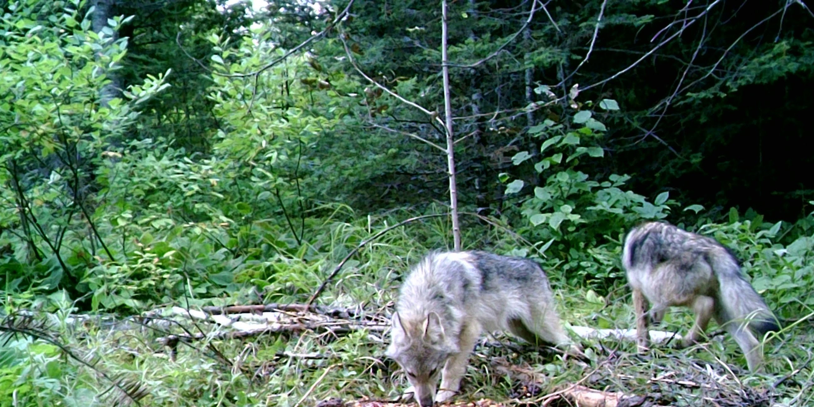 Feds REMOVE Gray Wolves from Protection of Endangered Species Act