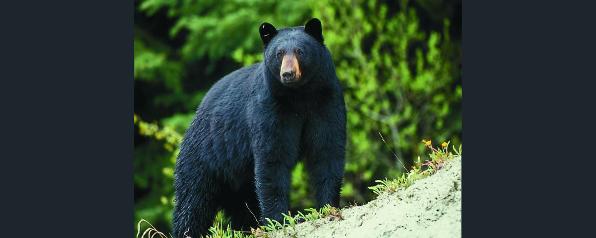 Missouri Department of Conservation Approves 2021 Black Bear Hunt