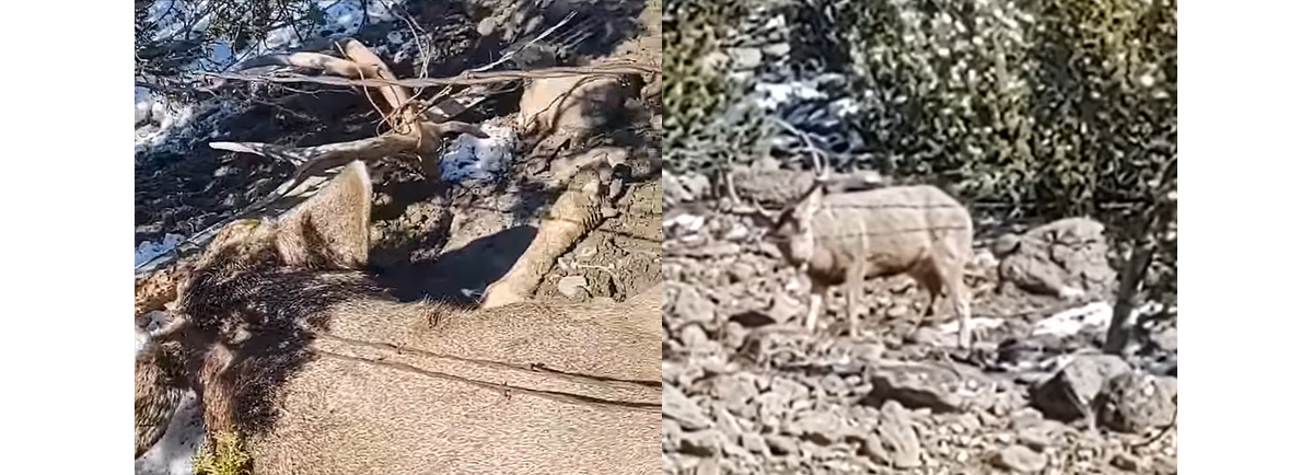 Mule Deer Caught in Barbed Wire Saved by Hunters