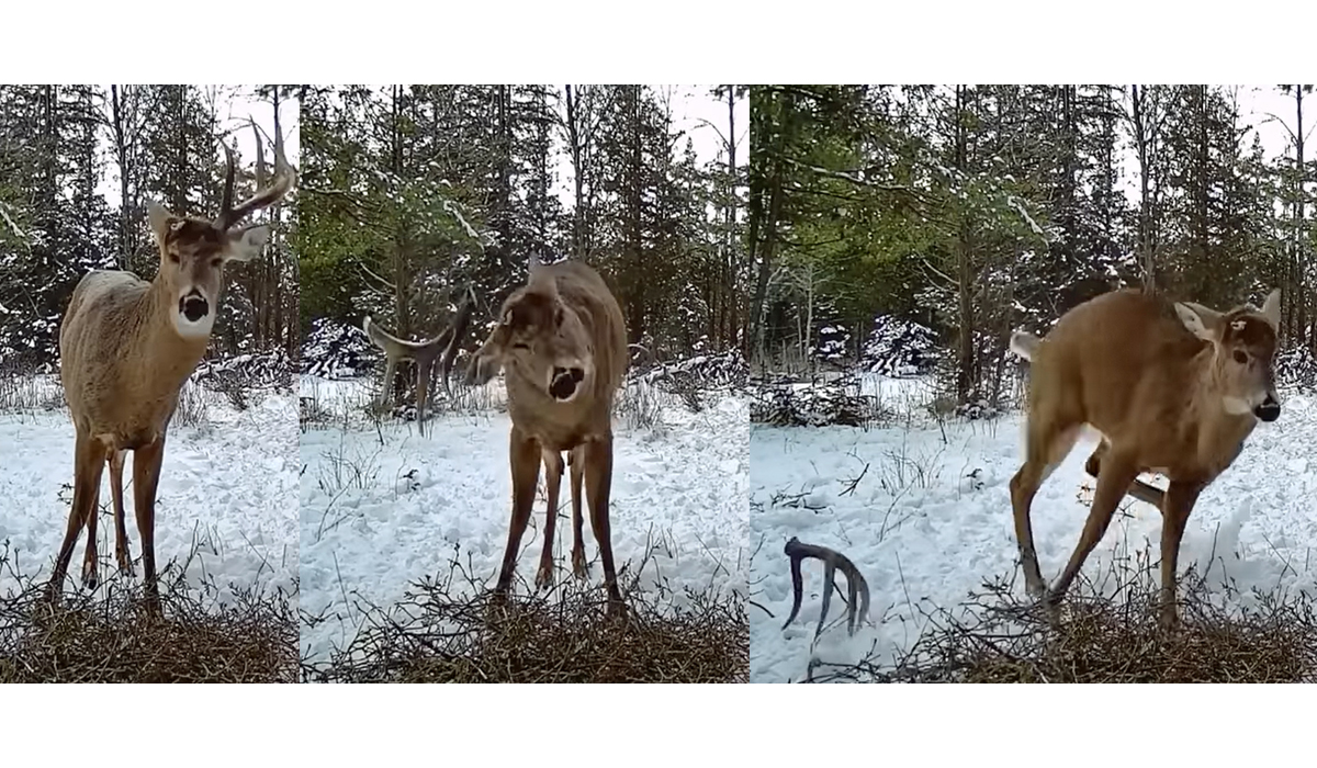 Watch as Buck Sheds Antler on Video