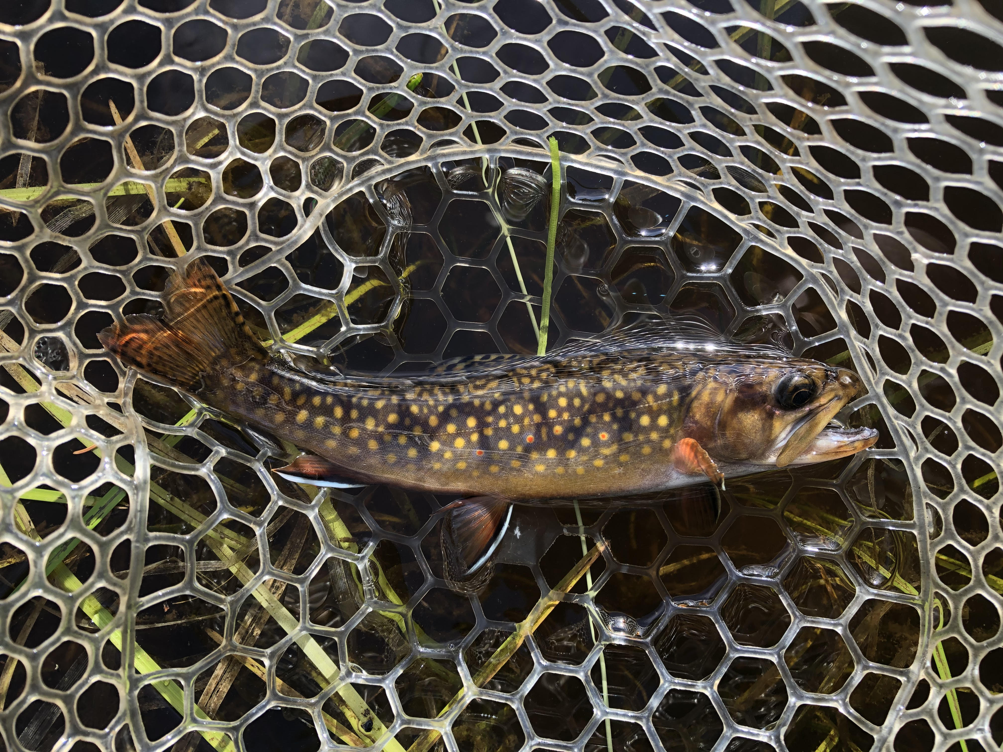 Genetically Pure Brook Trout discovered in Northern New York