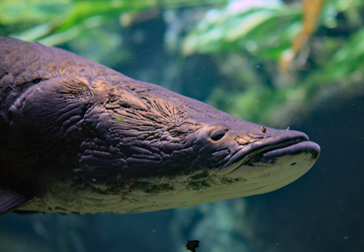 "Huge Arapaima ""River Monster"" Predatory Fish Discovered in Florida"
