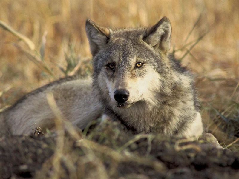 Wolves Were Over Hunted in Wisconsin During 2020