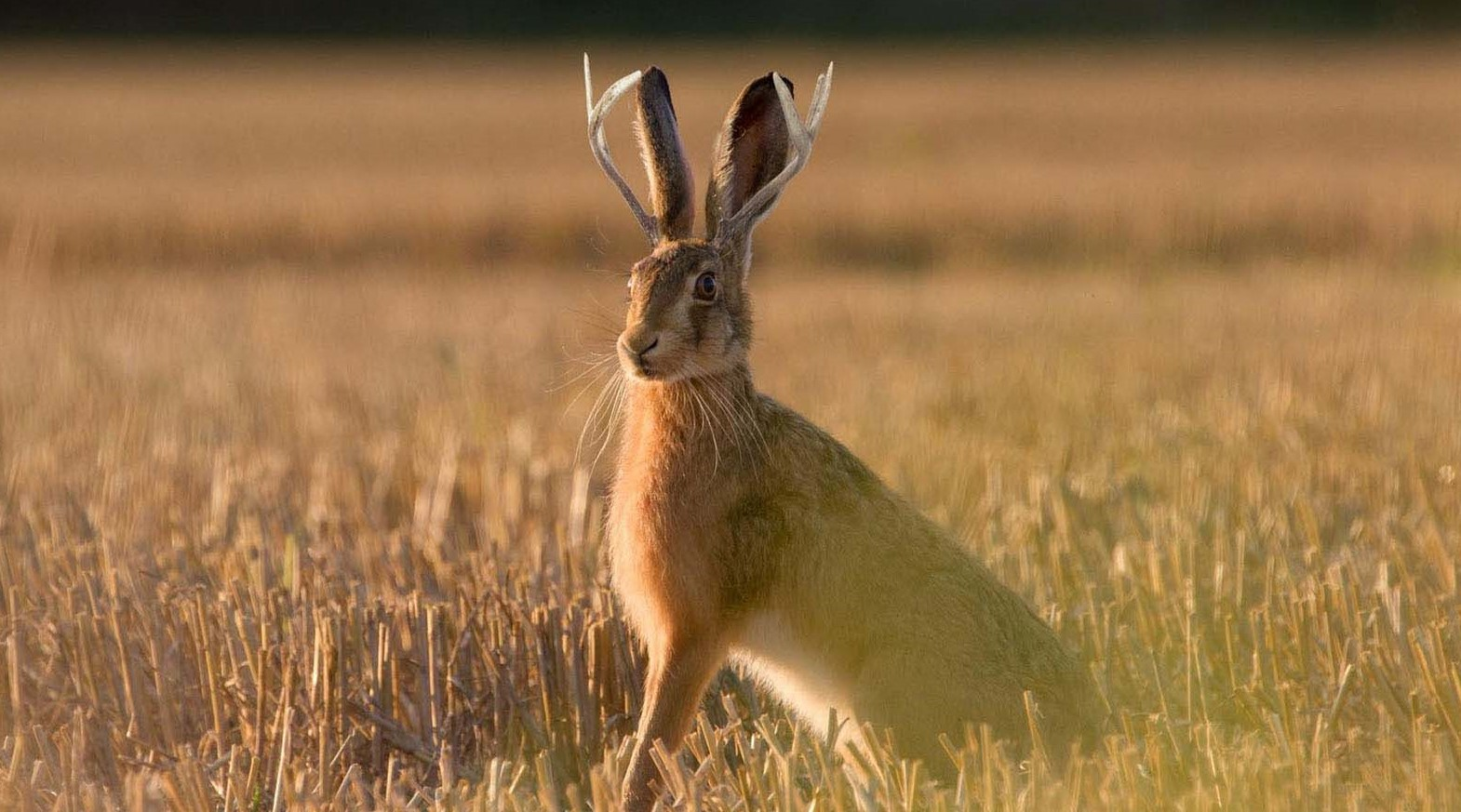 Jackalope Removed from Endangered Species List in Idaho