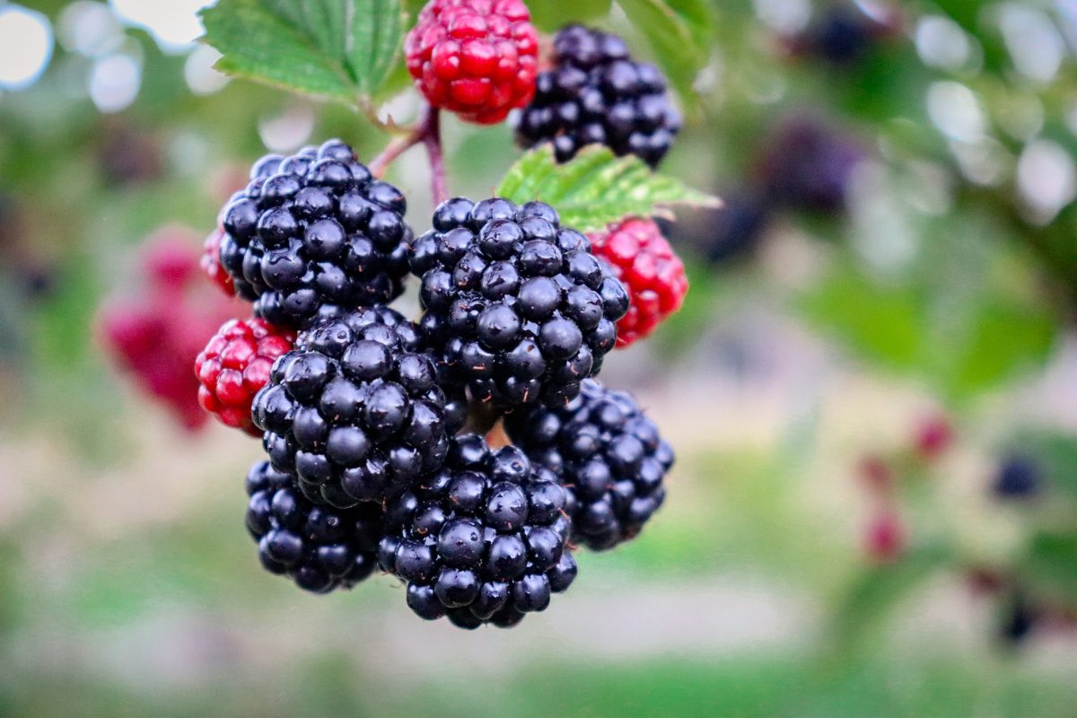 Dark and Sweet – Your guide to Wild Blackberries