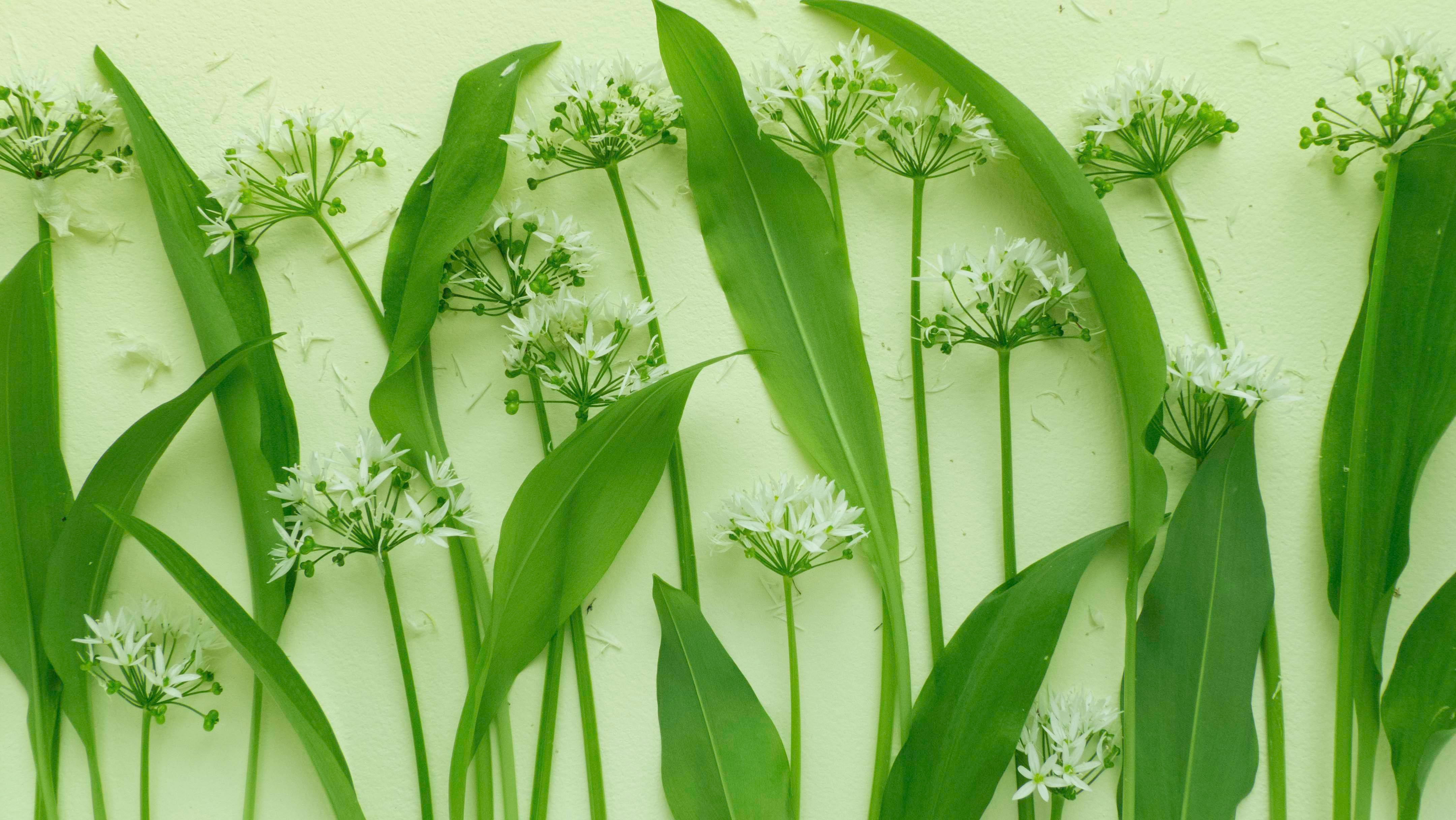 The Nose Knows! A Guide to Harvesting/Identifying Wild Onion & Garlic