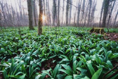 Wild onions thrive in marshy forested areas