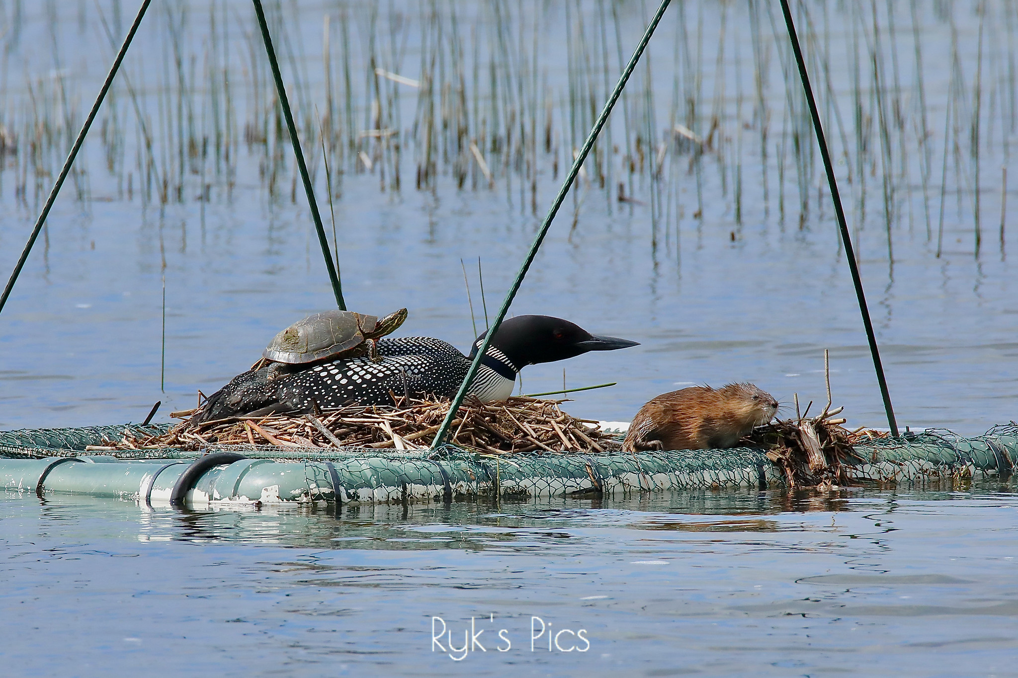 Turtle Caught Sunning Itself on the Back of a Loon