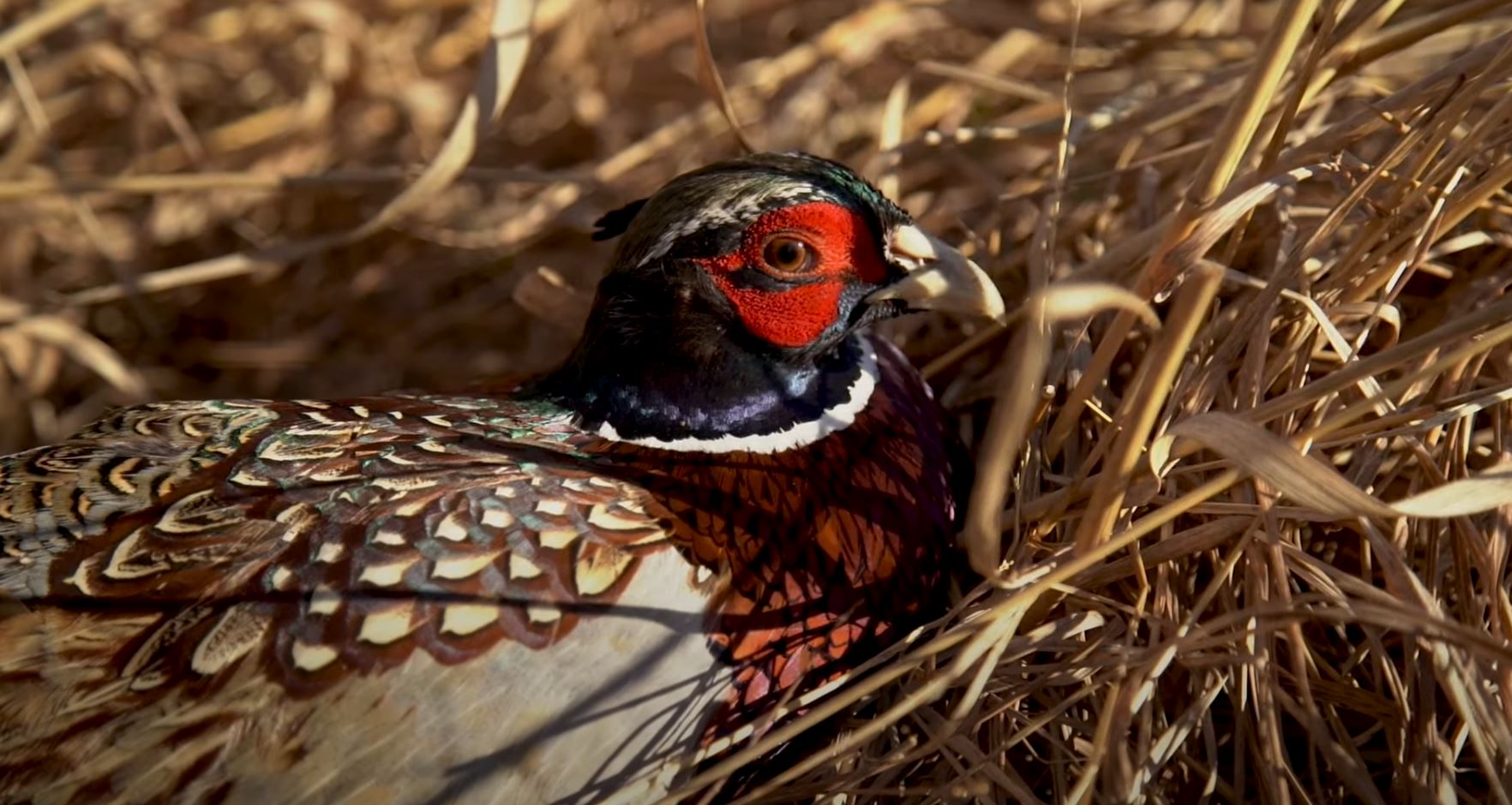 Western Minnesota Habitat Complex Expanded by Pheasants Forever and Partners