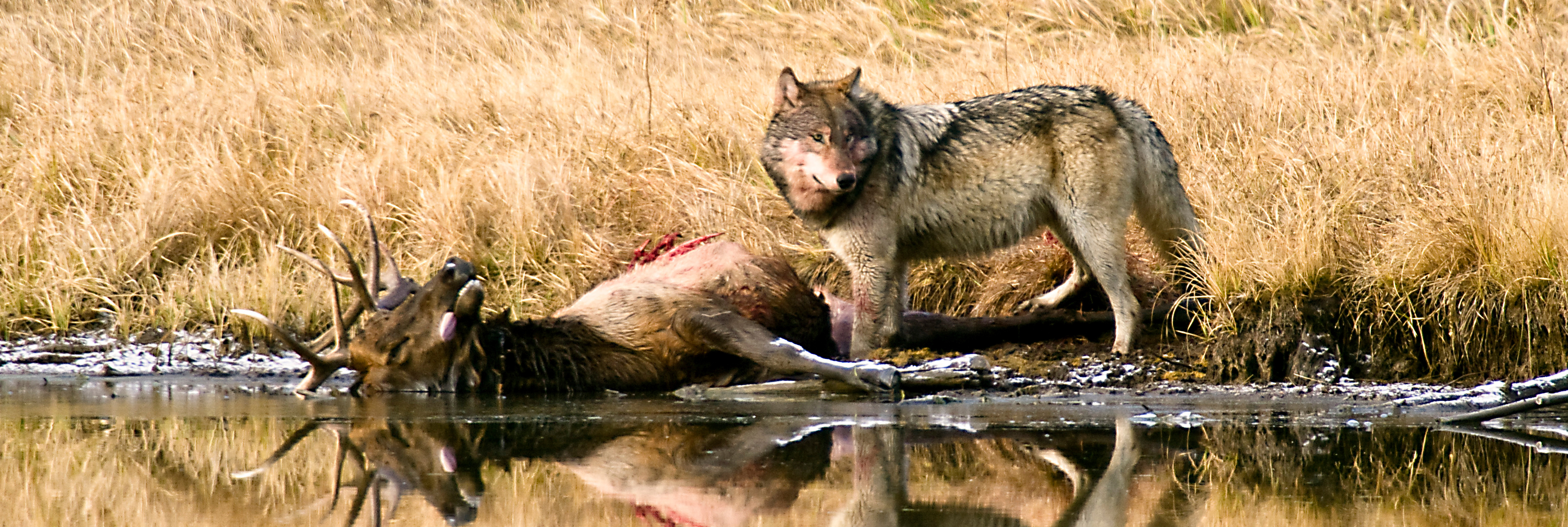 Idaho Offers to Pay Hunters Up to 2,500 to Cull Wolf Population